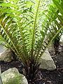 Blechnum gibbum (2).JPG