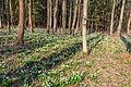 Bledule jarní v PR Králova zahrada 39.jpg
