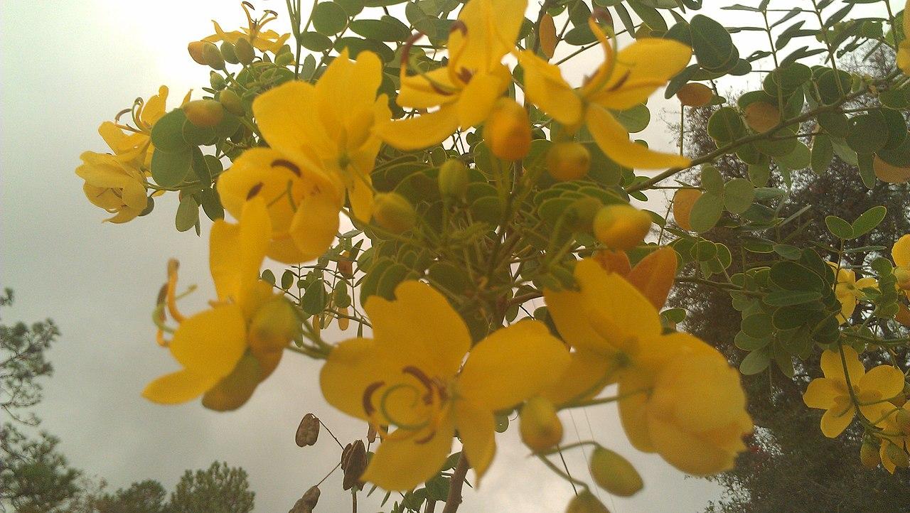 File Rosewood Florida Rc12409 Jpg: File:Blooming Tipuana Tipu Or Rosewood Tree.jpg
