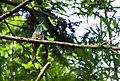 Blue-bearded bee-eater.jpg