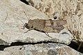 Blue Band-winged Grasshopper (Oedipoda caerulescens) (30531340857).jpg