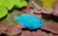 Blue Damselfish Chrysiptera cyanea