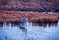 Blue Heron-Blackwater Refuge (11859540696).jpg