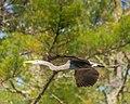Blue Heron (17470320589).jpg