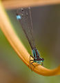 Blue Tailed Damselfly 3 (6002165998).jpg