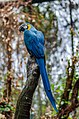 Blue macaw (Unsplash).jpg