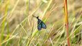 Blue moth (12866604115).jpg