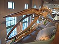 Blue whale skeleton.jpg