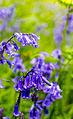 Bluebells (8952468725).jpg