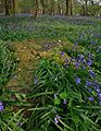 Bluebells in Boulsbury Wood.jpg