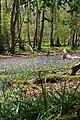 Bluebells in Roydon Woods, New Forest - geograph.org.uk - 408542.jpg