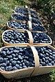 Blueberries in harvest season.jpg