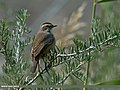 Bluethroat (Luscinia svecica) (24806787172).jpg