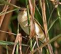 Blunt-winged Warbler (Acrocephalus concinens) in AP W IMG 4075.jpg