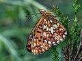 Boloria euphrosyne - Pearl-bordered fritillary - Перламутровка Эвфросина (40431145204).jpg