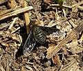 Bombyliidae. Beefly. Hemipenthes morio (44162954554).jpg