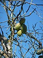 Bordeira - strange fruit? (13469280124).jpg