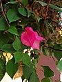 Bougainvillea glabra flower 01.jpg