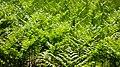 Bracken ferns by north Myrstigen track.jpg