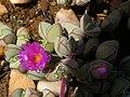 Braunsia maximiliani Gifberg 04.jpg