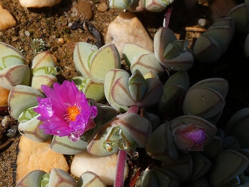 File:Braunsia maximiliani Gifberg 04.jpg