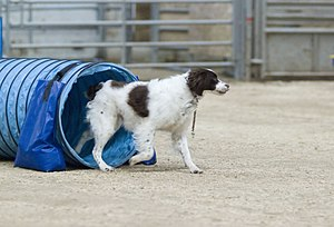 Geography of dog agility - Brittany dog taking part in an agility competition.