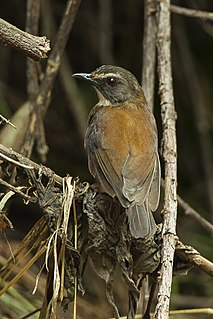 Brown-chested alethe species of bird