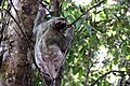 Brown-throated three-toed sloth female.JPG