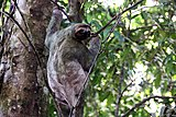 Brown-throated three-toed sloth female.JPG