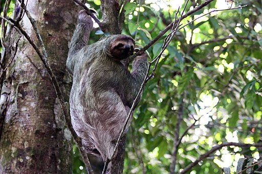 Brown-throated three-toed sloth female