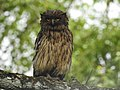 Brown fish owl Ketupa zeylonensis 04.jpg
