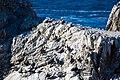 Brown pelican (38476979234).jpg