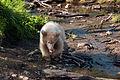 Brunbjorn fotograferad pa Polar Zoo Norge (7).jpg