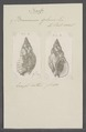 Buccinum glans - - Print - Iconographia Zoologica - Special Collections University of Amsterdam - UBAINV0274 085 07 0006.tif