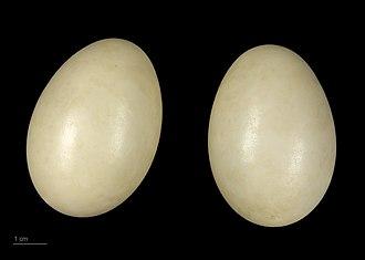 Bufflehead - Bucephala albeola - MHNT