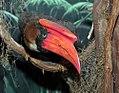 Buceros hydrocorax 0zz.jpg