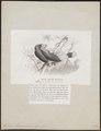 Buceros rhinoceroides - 1872 - Print - Iconographia Zoologica - Special Collections University of Amsterdam - UBA01 IZ19300220.tif