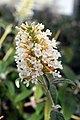 Buddleja davidii White Ball 1zz.jpg