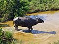 Buffle d'eau-Uda Walawe National Park.jpg