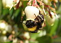 Bumble bee pollinating Arbutus unedo flower.jpg