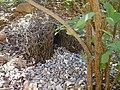 Bungle Bungles Bower bird nest 190503 - panoramio.jpg