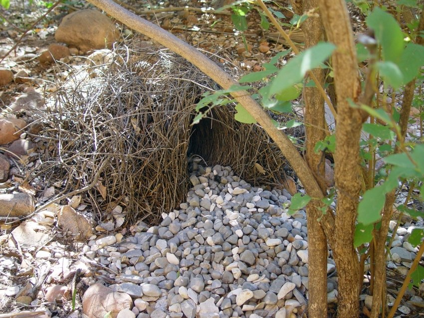 Bungle Bungles Bower bird nest 190503 - panoramio