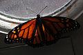Butterfly (2963025362).jpg