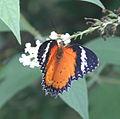 Butterfly Cyane 3 (2764937703).jpg