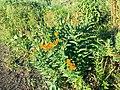Butterfly weed 2019.jpg