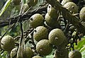 CALAMOIDEAE-fruits de Calamus sp.jpg