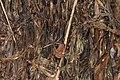 CEPF Burrowing Frog Fejervarya cepfi by Dr. Raju Kasambe DSCN0975 (13).jpg