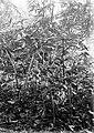 COLLECTIE TROPENMUSEUM Amorphophallus oncophyllus prani te Sorogedoeg TMnr 10006122.jpg