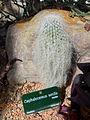 Cactees-Jardin-Plantes 02 Cephalocereus senilis.JPG