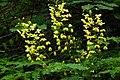 Caesalpinia decapetala var. japonica 蛇結茨 ジャケツイバラ 白髪岳山麓(篠山市) DSCF1066.JPG